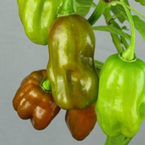 Habanero Green Chilipflanze