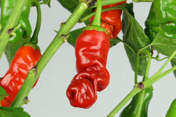 Peter Pepper Red Chilipflanze