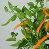 Thai Orange Hot Chilipflanze