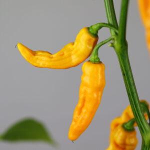 Mako Akokosrade Chilipflanze