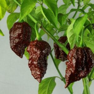 Big Black Mama Chilipflanze