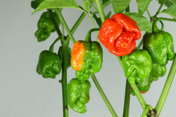 Trindiad Scorpion Moruga Red Chilipflanze