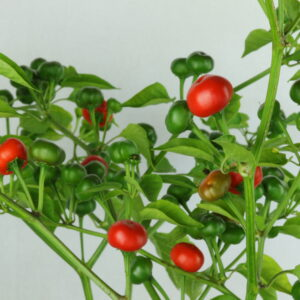 Aji Tapachula Chilipflanze