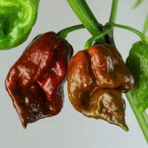 Chocolate Scorpion Chilipflanze