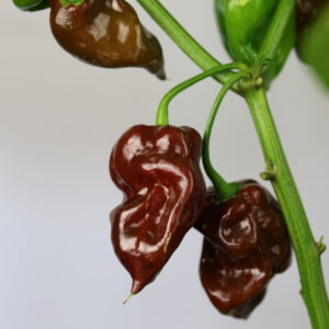 Scotch Bonnet Brown Chilipflanze