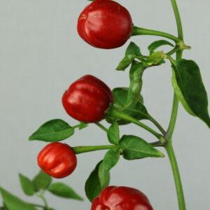 Alotenango Chilipflanze