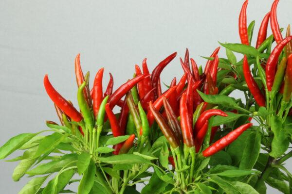 Takanotsume Chilipflanze