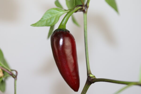 Serrano Purple Chilipflanze