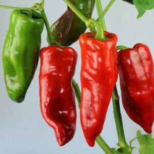 Corno di Toro Chilipflanze