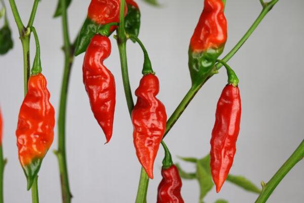 Trinidad Scorpion Long Chilipflanze