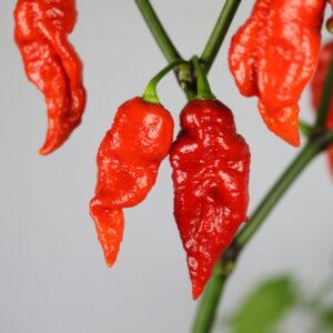 Nagalah Chilipflanze