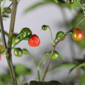 Mata Frade Chilipflanze