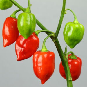 Habanero Red Chilipflanze