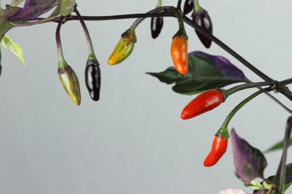 Orozco Chilipflanze