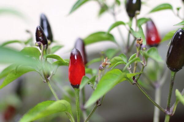 Pequin Black Chilipflanze