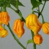 Yellow Reaper Chilisamen