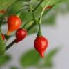 Biquinho Vermelho Chilipflanze