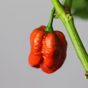 Trindiad Scorpion Moruga Caramel Chilipflanze