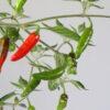 Onza Chilipflanze