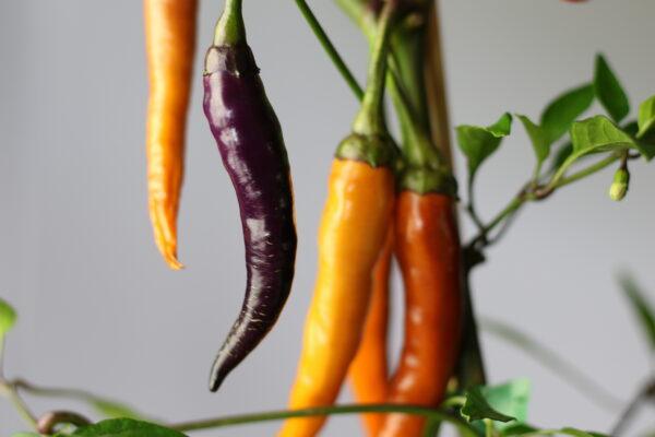 Buene Mulata Chilipflanze