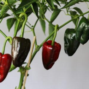 Ancho Chilipflanze