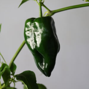 Poblano Chilipflanze