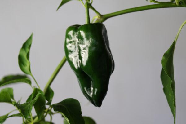 Poblano Chilipflanze