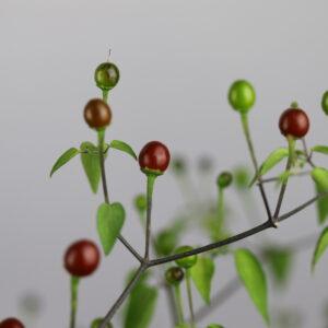 Chiltepon Cappucchino Chilipflanze