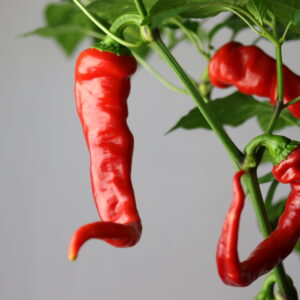 Maule's Red Hot Chilipflanze