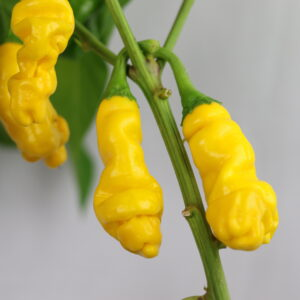 Peter Pepper Yellow Chilipflanze