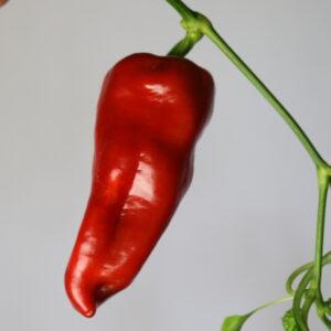 Tolli's Sweet Italian Chilipflanze