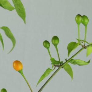 Chiltepin Amarillo Chilipflanze