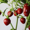 Red Cherry Sweet Chilipflanze