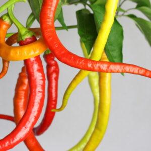 Corbaci Chilipflanze