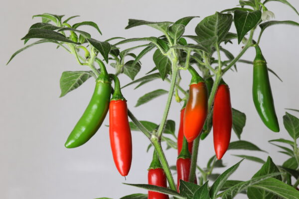 Serrano Tampiqueno Chilipflanze