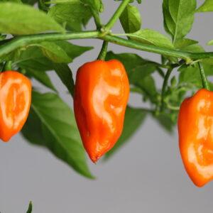 Habanero Orange Chilipflanze
