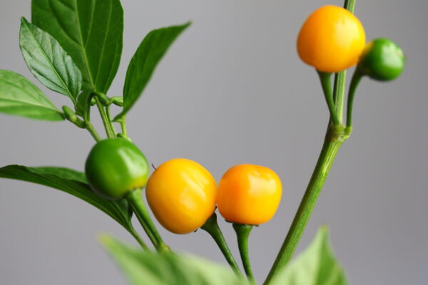 Quintisho Chilipflanze