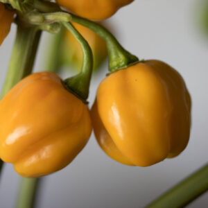 Scotch Bonnet Orange Chilipflanze