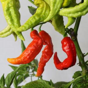 Bhut Jolokia Red Chilipflanze