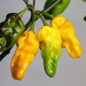 Habanero Kathumby Yellow Chilipflanze