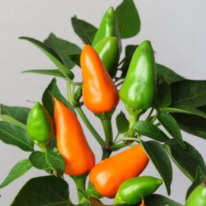 Capela Chilipflanze