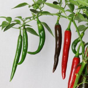 Curry Chili Chilipflanze