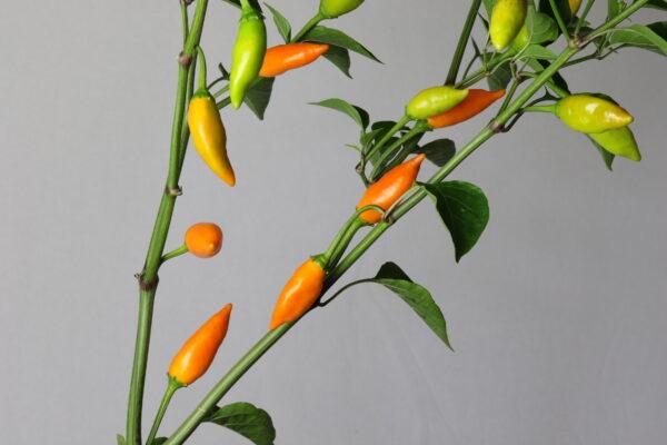 Baumchili Orange Chilipflanze