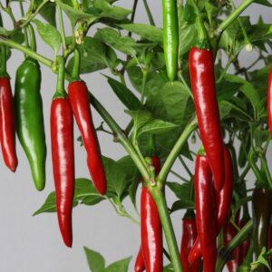 Gochu Chilipflanze