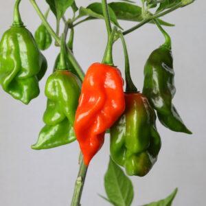 Habanero Maya Red Chilipflanze