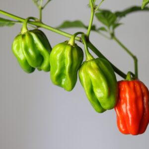 Habanero Surinam Red Chilipflanze