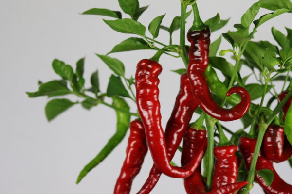 Cayenne Thick Chilipflanze