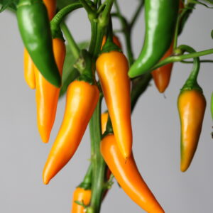 Bulgarian Carrot Chilipflanze