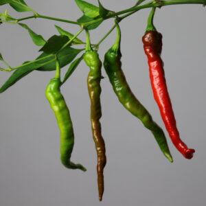 Fushimi Chilipflanze