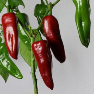 Dulce de Espana Chilipflanze